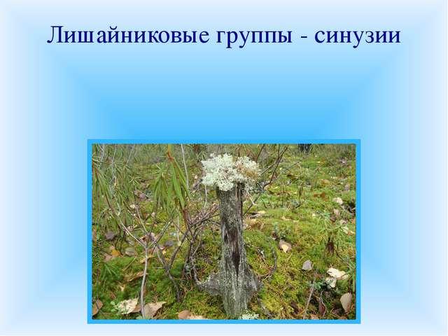 Лишайниковые группы - синузии В различных местообитаниях на скалах, почве, ст...