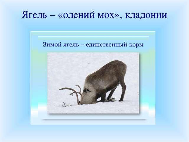 Ягель – «олений мох», кладонии Ягелем или оленьим мхом на Севере питаются оле...