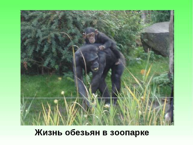 Жизнь обезьян в зоопарке