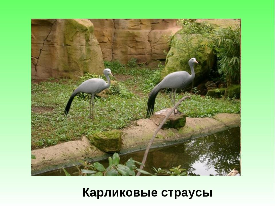 Карликовые страусы