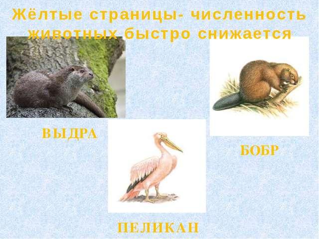 Жёлтые страницы- численность животных быстро снижается БОБР ВЫДРА ПЕЛИКАН