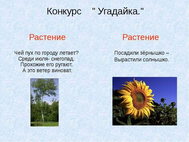 """Конкурс """" Угадайка."""" Растение Растение Чей пух по городу летает? Среди июля-..."""