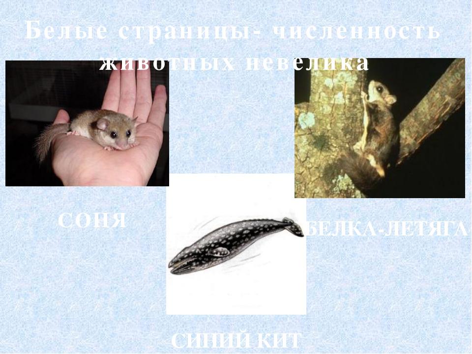 Белые страницы- численность животных невелика СИНИЙ КИТ СОНЯ БЕЛКА-ЛЕТЯГА