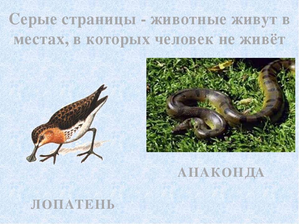 Серые страницы - животные живут в местах, в которых человек не живёт ЛОПАТЕНЬ...