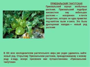 ПРЖЕВАЛЬСКИЯ ТАНГУТСКАЯ Пржевальский изучал необычные растения. Пржевальский