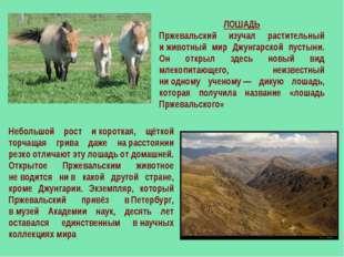 ЛОШАДЬ Пржевальский изучал растительный иживотный мир Джунгарской пустыни. О