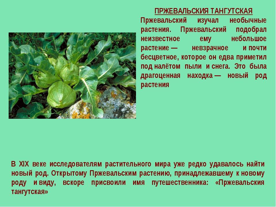 ПРЖЕВАЛЬСКИЯ ТАНГУТСКАЯ Пржевальский изучал необычные растения. Пржевальский...