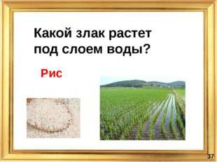 Какой злак растет под слоем воды? * Рис