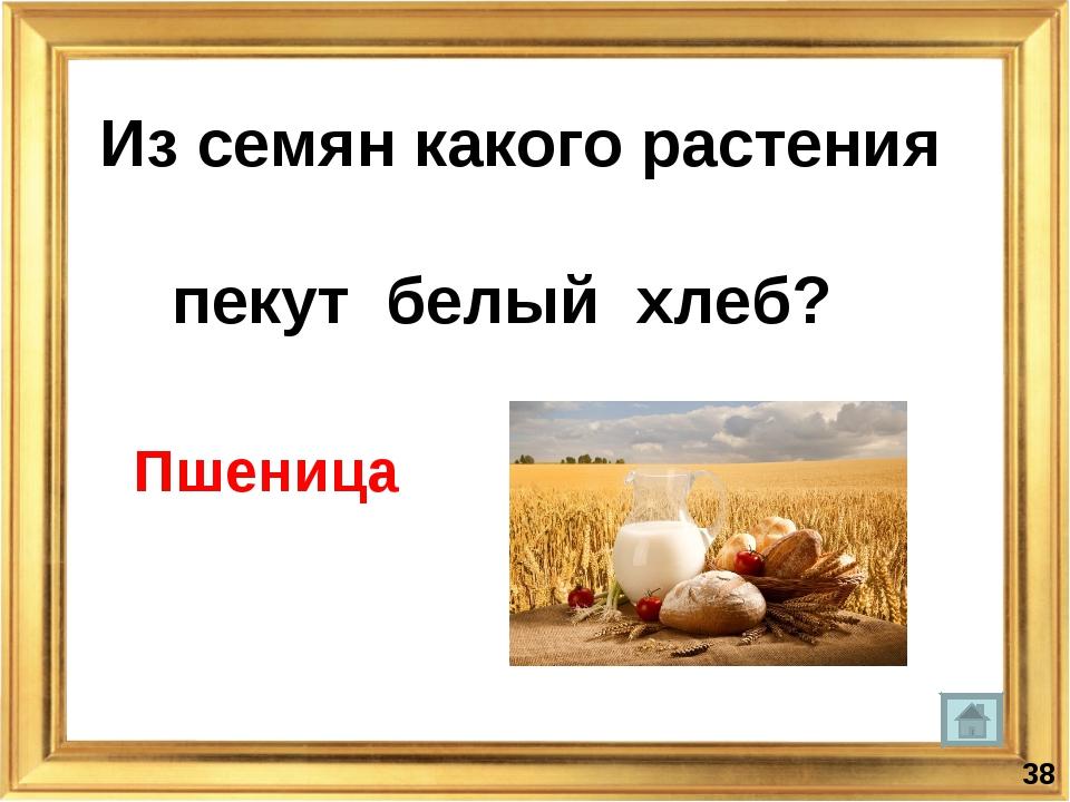 Из семян какого растения пекут белый хлеб? * Пшеница