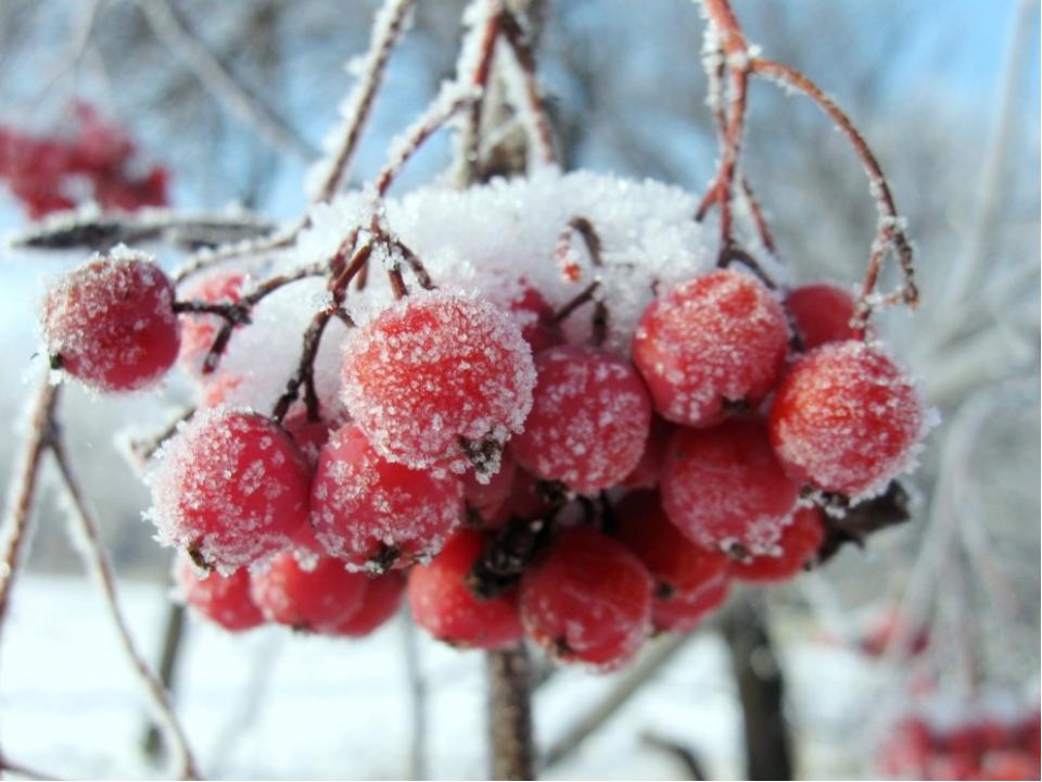 Отгадайте загадку: Дрозд, снегирь, другая птица, Могут ею угоститься, Как уси...