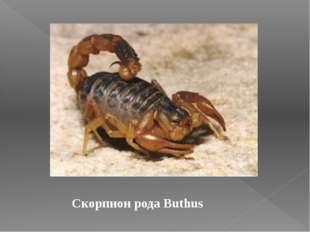 Скорпион рода Buthus