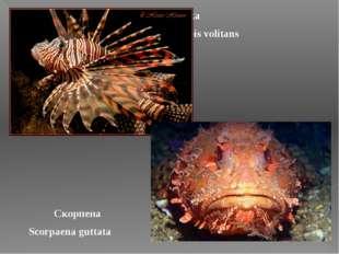 Крылатка Pterois volitans Скорпена Scorpaena guttata