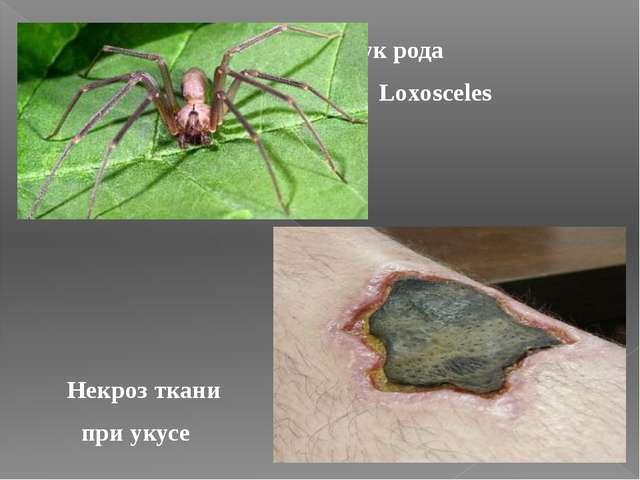 Паук рода Loxosceles Некроз ткани при укусе