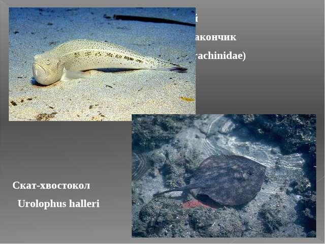 Морской дракончик (Trachinidae) Скат-хвостокол Urolophus halleri