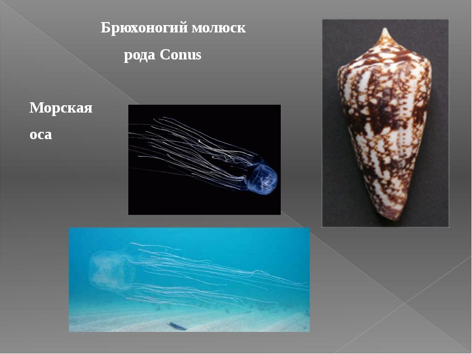 Брюхоногий молюск рода Conus Морская оса