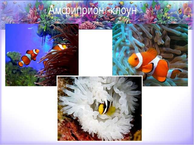 Амфиприон -клоун