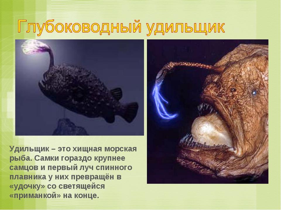 Удильщик – это хищная морская рыба. Самки гораздо крупнее самцов и первый луч...