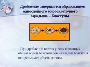 Дробление завершается образованием однослойного многоклеточного зародыша – б