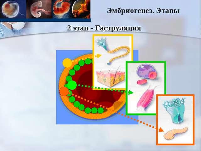 3 этап - Органогенез 2 этап - Гаструляция