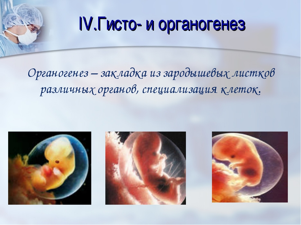 IV.Гисто- и органогенез Органогенез – закладка из зародышевых листков различн...