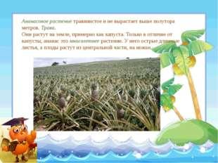 Ананасовое растение травянистое и не вырастает выше полутора метров. Трава. О