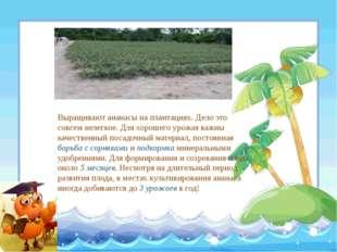 Выращивают ананасы на плантациях. Дело это совсем нелегкое. Для хорошего урож