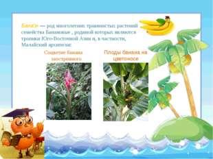 Соцветие банана заострённого Плоды банана на цветоносе Бана́н— род многолет