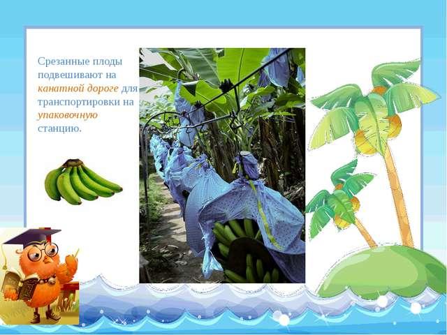 Срезанные плоды подвешивают на канатной дороге для транспортировки на упаково...