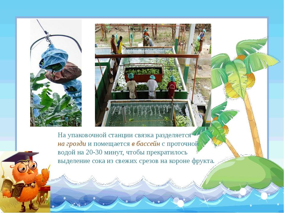 На упаковочной станции связка разделяется на грозди и помещается в бассейн с...