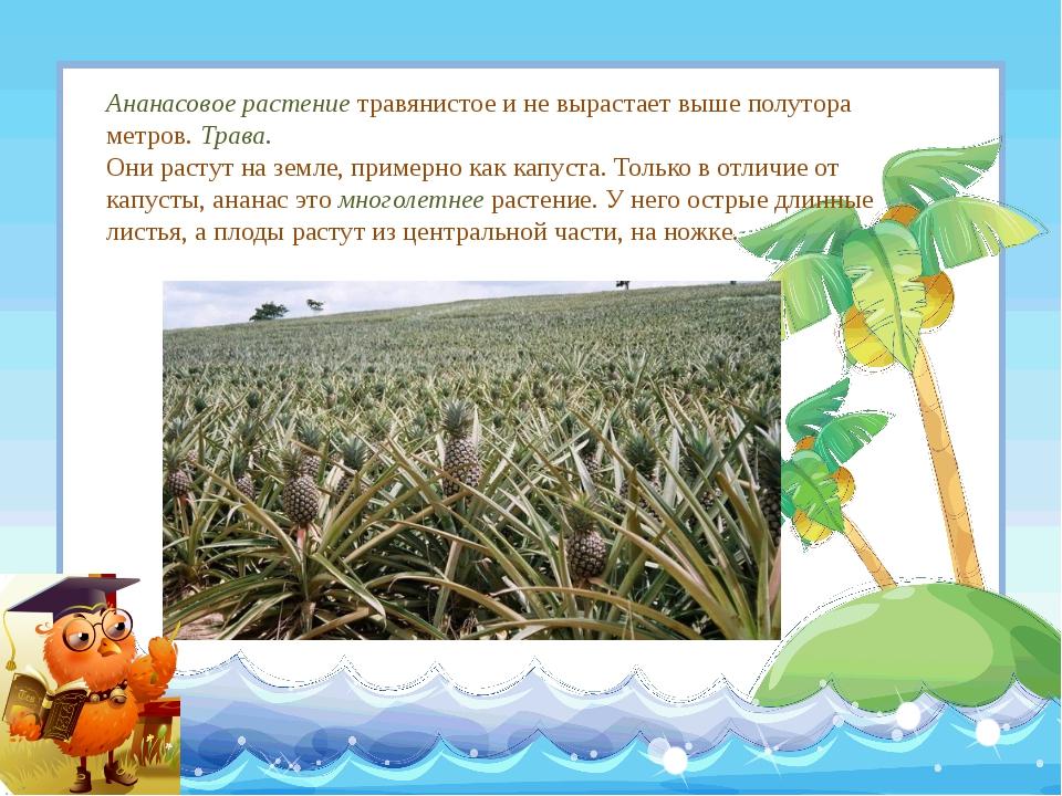 Ананасовое растение травянистое и не вырастает выше полутора метров. Трава. О...