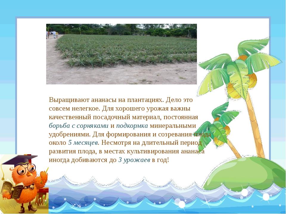 Выращивают ананасы на плантациях. Дело это совсем нелегкое. Для хорошего урож...