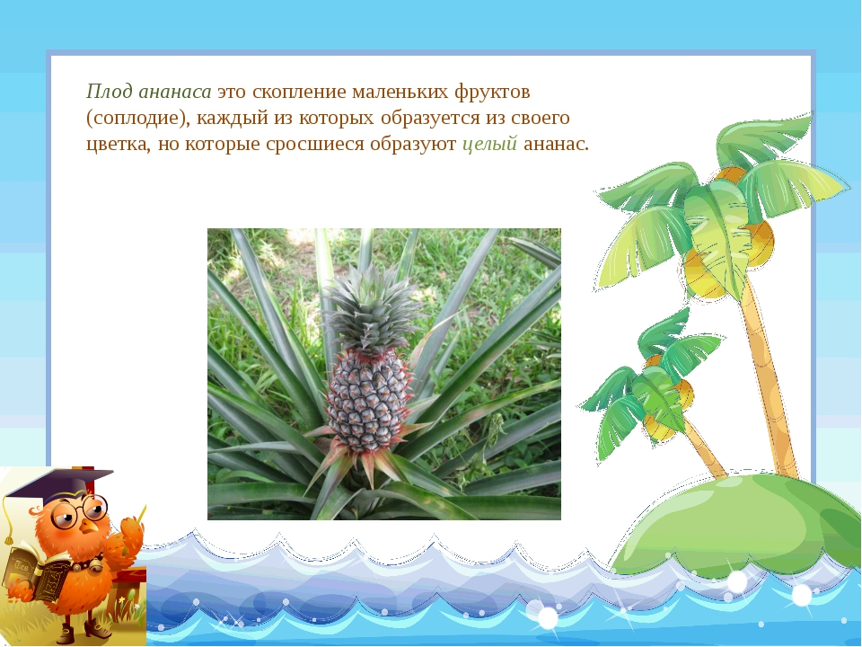 Плод ананаса это скопление маленьких фруктов (соплодие), каждый из которых об...