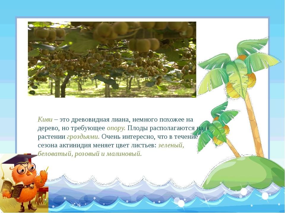 Киви – это древовидная лиана, немного похожее на дерево, но требующее опору....