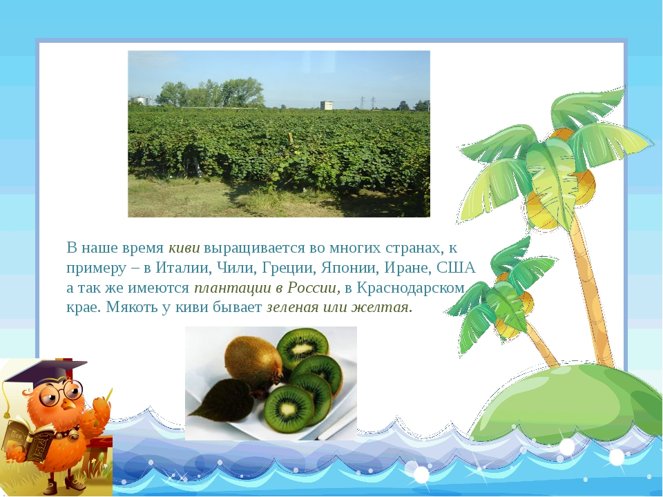 В наше время киви выращивается во многих странах, к примеру – в Италии, Чили,...