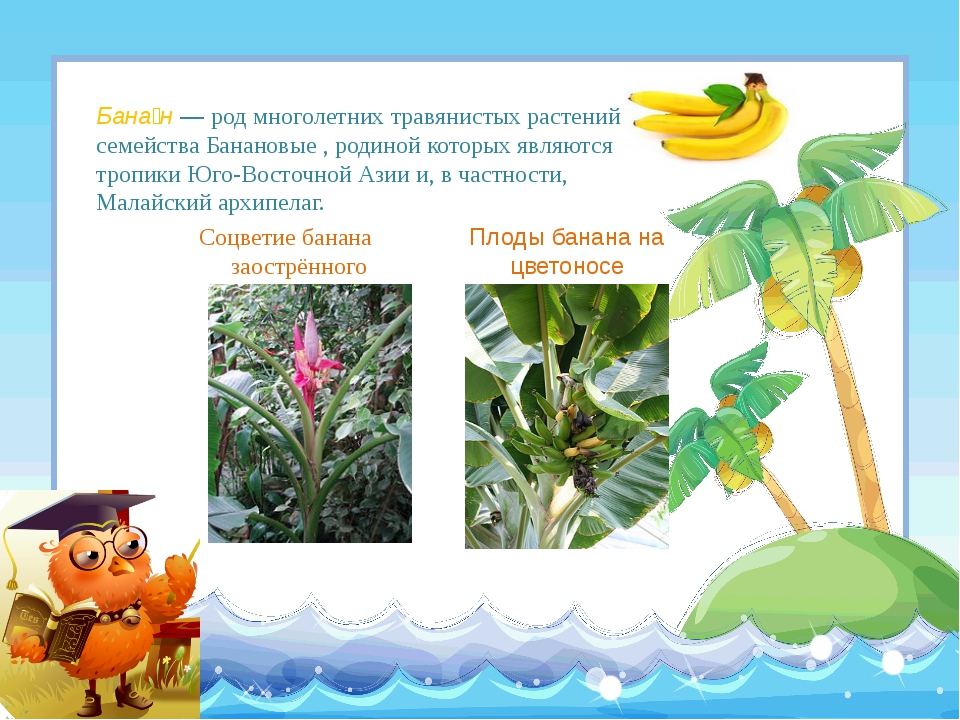 Соцветие банана заострённого Плоды банана на цветоносе Бана́н— род многолет...