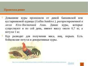 Домашние куры произошли от дикой банкивской или кустарниковой курицы (Gallus