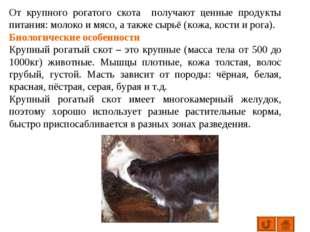 От крупного рогатого скота получают ценные продукты питания: молоко и мясо, а