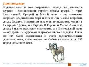 Происхождение Родоначальником всех современных пород овец считается муфлон -