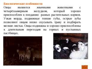 Биологические особенности Овцы являются жвачными животными с четырёхкамерным