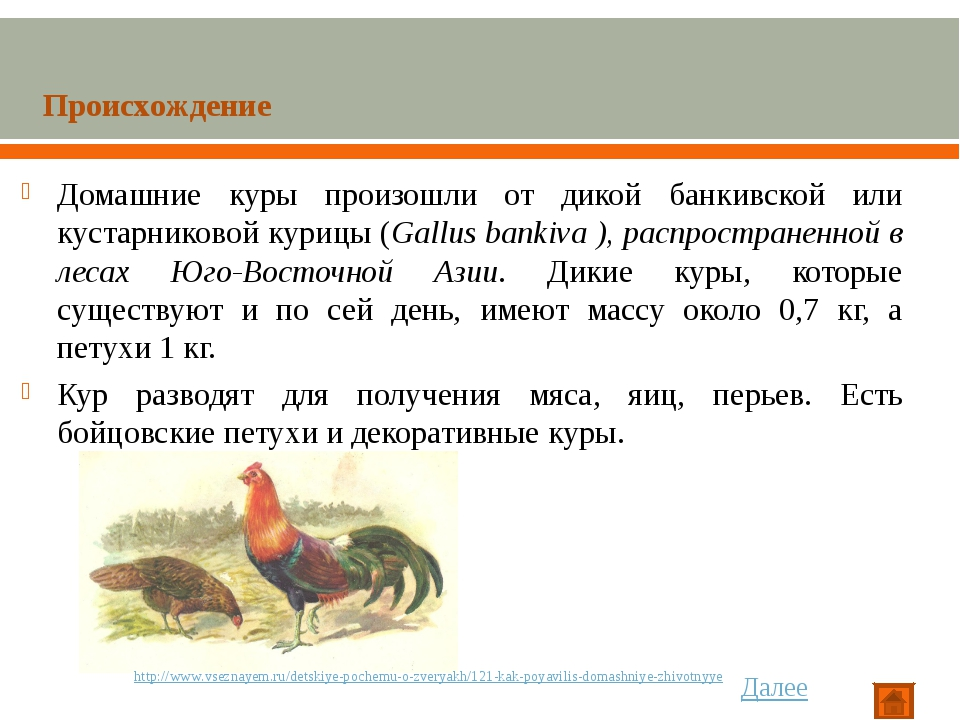 Домашние куры произошли от дикой банкивской или кустарниковой курицы (Gallus...
