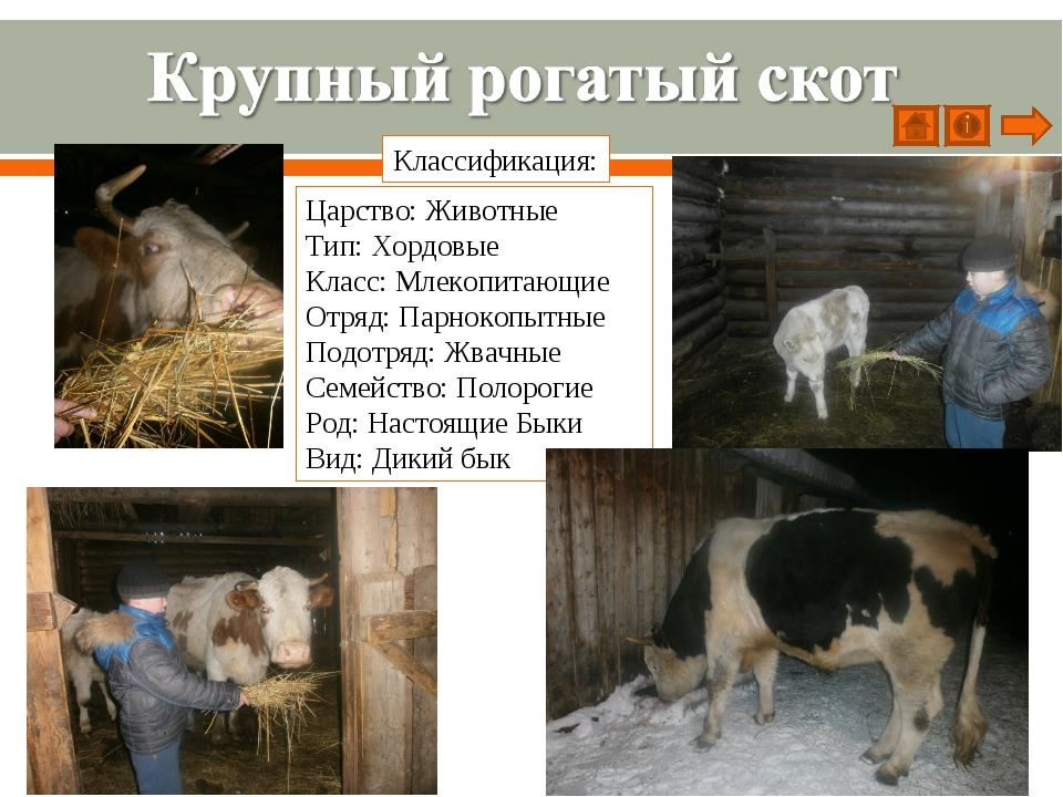Царство: Животные Тип: Хордовые Класс: Млекопитающие Отряд: Парнокопытные Под...
