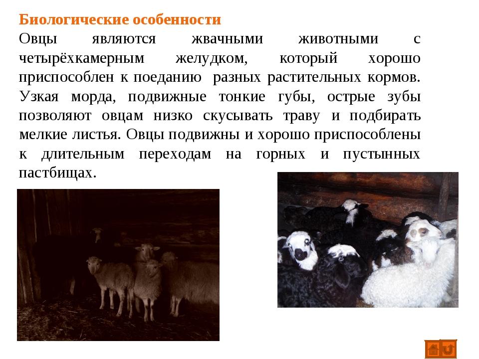 Биологические особенности Овцы являются жвачными животными с четырёхкамерным...
