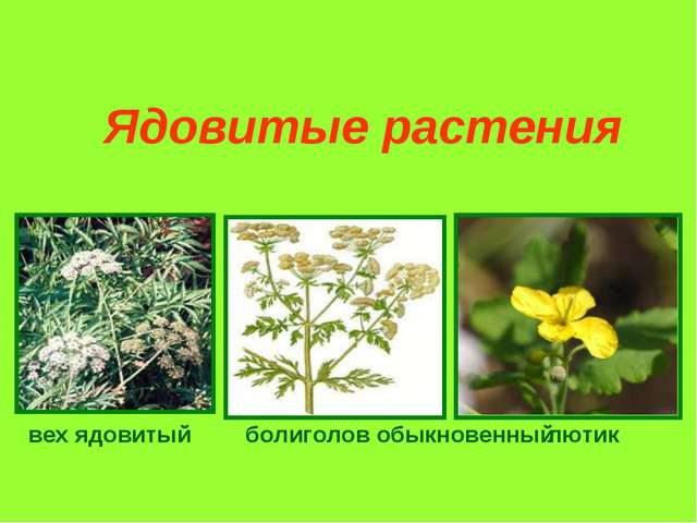 вех ядовитый болиголов обыкновенный лютик Ядовитые растения