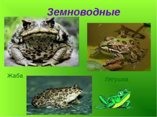 Земноводные Лягушка Жаба