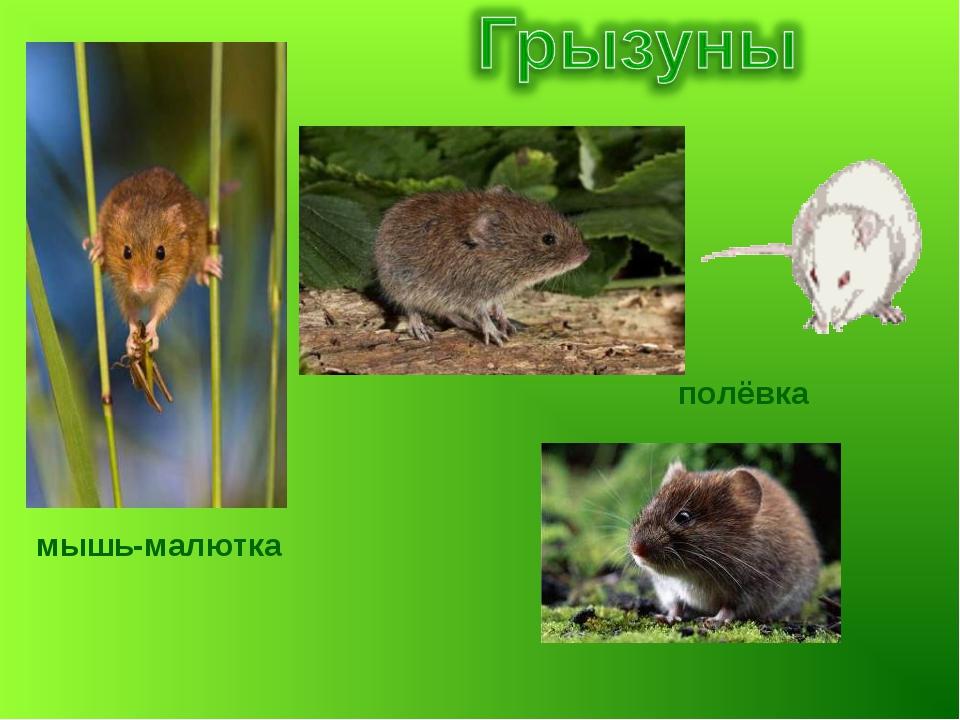 полёвка мышь-малютка