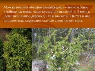 Можжевельник обыкновенный(верес) – вечнозелёное хвойное растение, чаще кустар