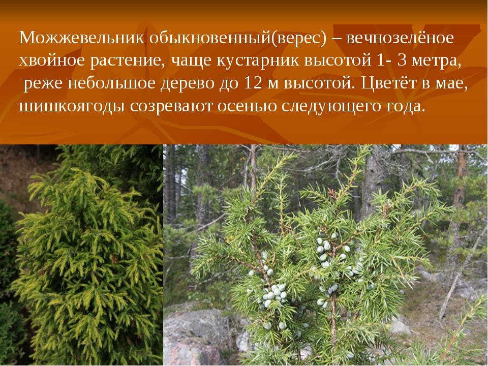 Можжевельник обыкновенный(верес) – вечнозелёное хвойное растение, чаще кустар...
