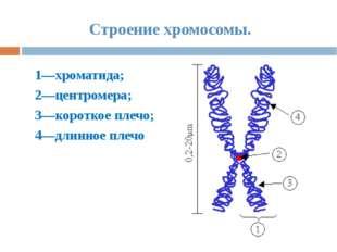 Строение хромосомы. 1—хроматида; 2—центромера; 3—короткое плечо; 4—длинное пл