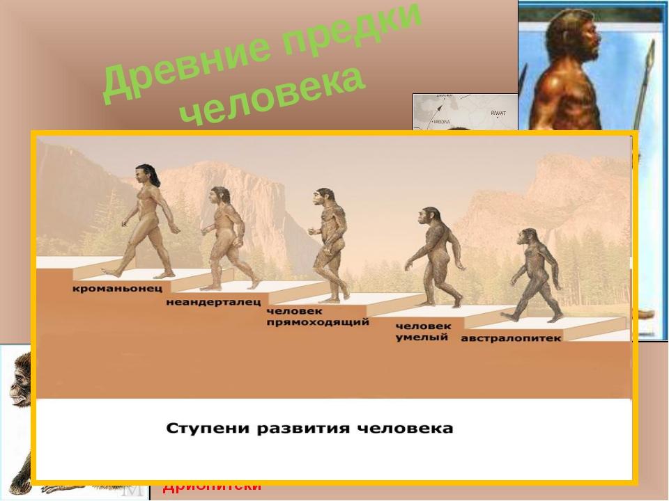 Древние предки человека Дриопитеки Австралопитеки Человек умелый Человек прям...