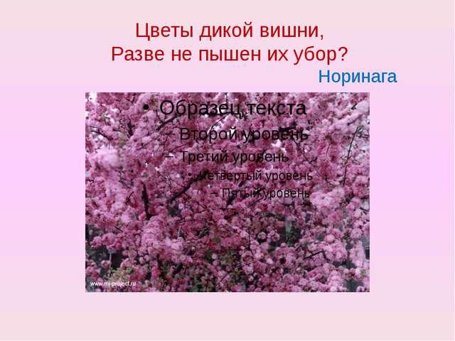 Цветы дикой вишни, Разве не пышен их убор? Норинага